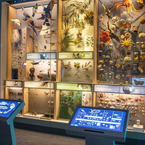 A visitor to the Te Taiao Nature exhibition uses a touch screen in front of a wall of specimens.