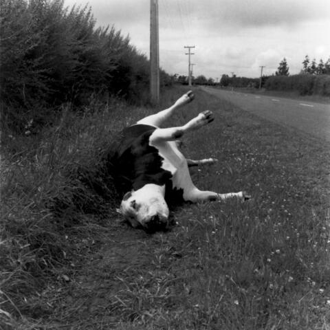 Peter Peryer Dead Steer 1987 Photograph