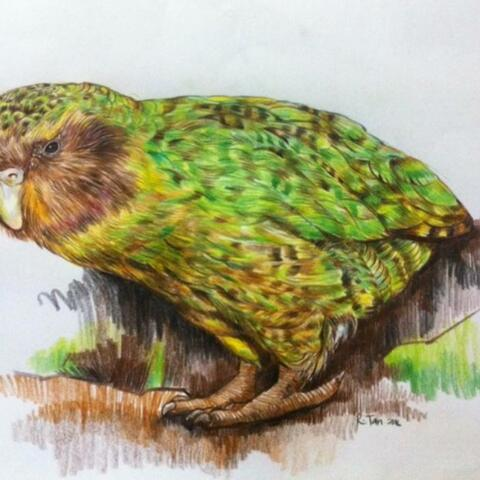 NZ Kakapo Bird